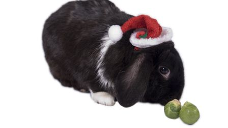 Joe the house bunny likes a sprout or two at Christmas. Picture: Alex Walton