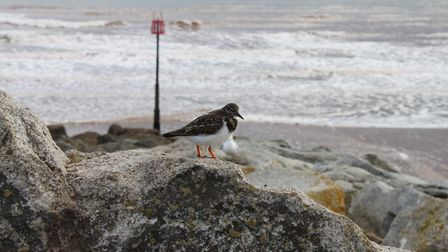 Each winter a small group of Turnstones take up residence on Sidmouth Esplanade. They run around li