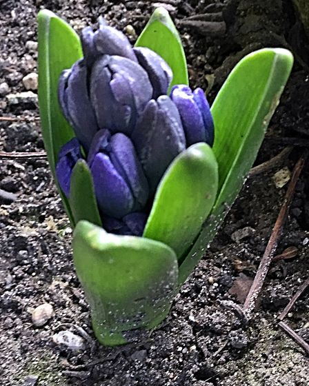 It only needs a bit of warmth for this hyacinth to really grow and open. But with snow forecast I t