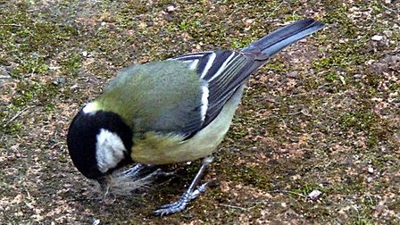 Great tit gathering nesting material. Picture: Barbara Mellor