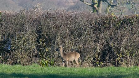 Walking the Exmouth to Budleigh cycle track spotted a couple of deer. Picture: Jason Sedgemore