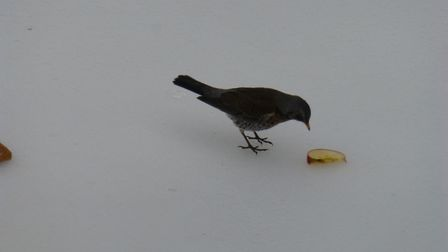 A group of about 10 Fieldfares have been in our garden today, feeding mainly on apple that we put ou