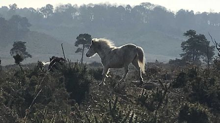 A magical encounter on Woodbury Common. These ponies crossed our path as we walked the dogs this mor