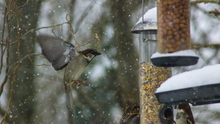 House sparrow feeding. Picture: Geoff Teed