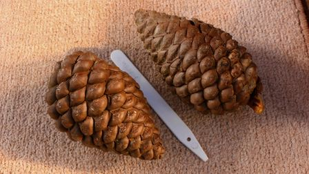 the cones are about six inches long. Picture: Diana East