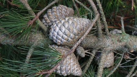 Last year's pine cones.Picture: Diana East