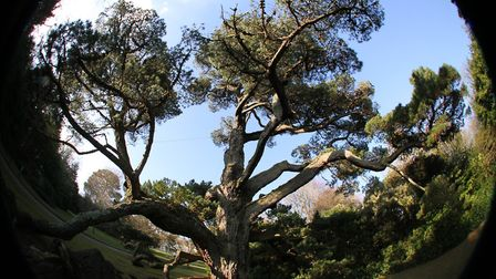 An ultra-wide view of one of the Monterey pines growing in the grounds of Knowle in Sidmouth. Ref sh