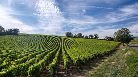 A view of vine rows growing on the slope of a hill in the Loire Valley region. Leaves are illuminate
