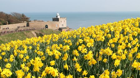 Daffodils at Peak Hill. Picture by Alex Walton. Ref shs 8257-12-14AW. To order your copy of this pho