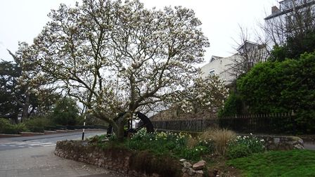 I went past in the morning of Saturday 14th April 2018, by Madeira walk, and saw the magnolia tree i