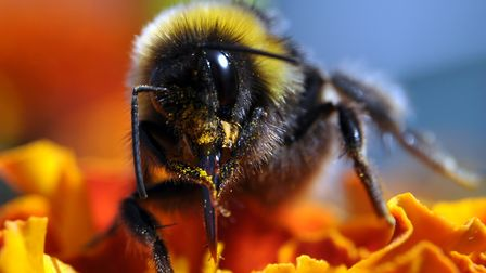 A lovely bee in our Budleigh garden collecting pollen last August. Picture: Steve Pease