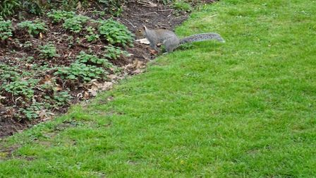 I spotted a grey squirrel walking through the park, on my way home on the afternoon, of Friday 13th