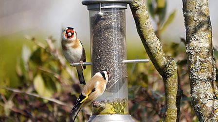 These two goldfinches visit my feeders every day and are becoming quite tame. Picture: Barbara Mello