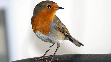 I left the patio door open one warm sunny day and the next thing I know this robin has decided to fl