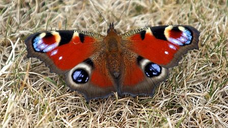 This butterfly spent ages on my lawn in the sunshine. Picture: Barbara Mellor