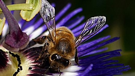 The bees just love my Passion Flower. Picture: Barbara Mellor