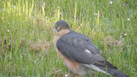 Sparrow Hawk feeding in our garden this morning. Picture: David Jones