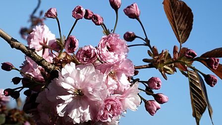 Cherry blossom against a clear blue sky - there is nothing to beat it! Picture: Barbara Mellor