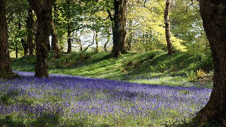 Bluebells at their very best at Blackbury Camp. Picture: Barbara Mellor