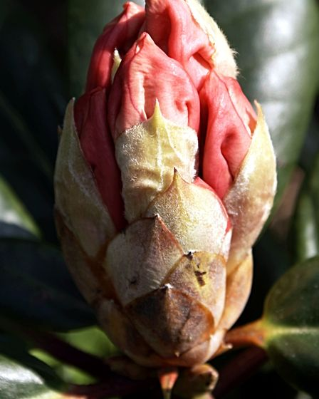 I chose this rhododendron for my garden because of its unusual shade. The buds are really deep colo