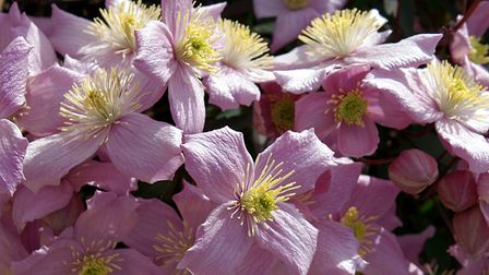 Another shot of this magnificent clematis. Picture: Barbara Mellor