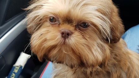 Chewy, a six-month-old Shih Tzu, killed by a bigger dog
