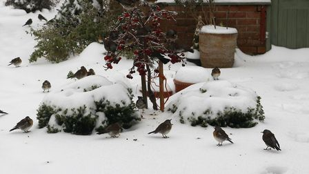 Fieldfares in the snow. Picture: Diana East