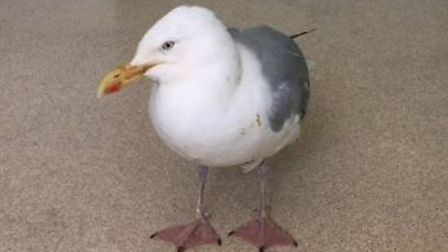 Seagulls have been nursed back to health after more than a dozen birds were reported to be 'drunk' l