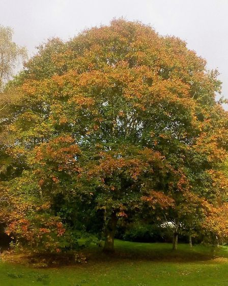 Red oak at Knowle.