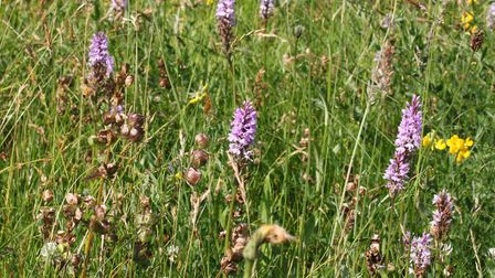 Orchids before the field was mowed