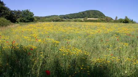 Sidmouth's Alma field wildflower meadow. Ref shs 30 18TI 8691. Picture: Terry Ife