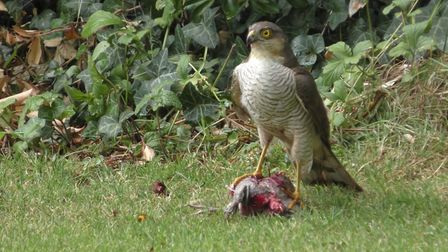 Walked into the garden and found the Sparrowhawk having his lunch, he kept an eye on me but eventual