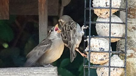 A single baby sparrow getting all the attention! Picture: Barbara Mellor