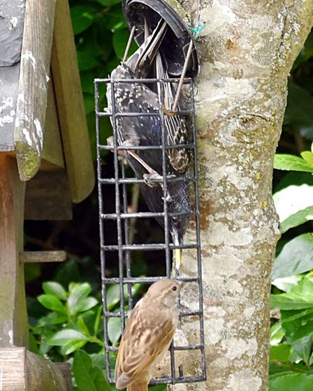 This starling was determined to get at the fat ball at all costs! Picture: Barbara Mellor