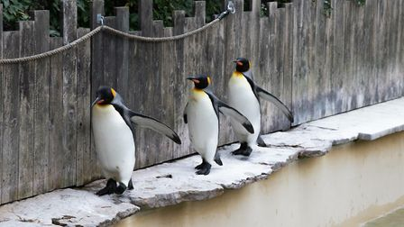 These guys made us laugh so much at Birdland in The Cotswolds. First time seeing Emporer Penguins &