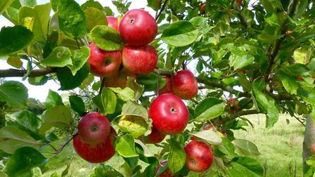 Apples growing in the orchard. Picture: Contributed