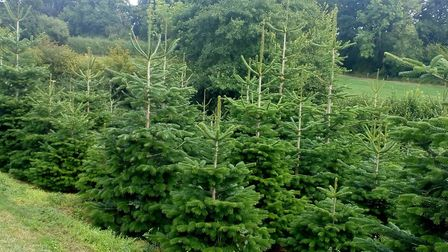 Like all living things, Christmas trees grow at different rates. Picture: Ed Dolphin