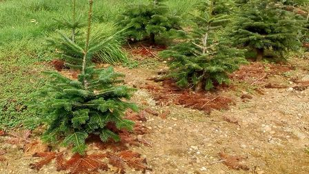 Three-year-old Christmas trees, growing in their plot. Picture: Ed Dolphin