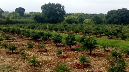 The trees grow at about 30cm (one foot) per year. Picture: Ed Dolphin