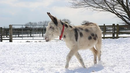 Walter is one of the donkeys taking part in the festive celebrations. Picture: The Donkey Sanctuary