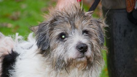 Scruffy the jack russell at ARC. Ref shs 49 18TI 6380. Picture: Terry Ife