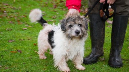 Scruffy the jack russell at ARC. Ref shs 49 18TI 6377. Picture: Terry Ife