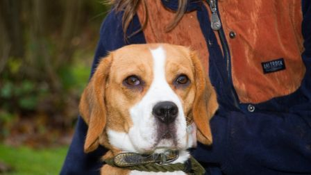 Quinn the beagle at ARC. Ref shs 49 18TI 6372. Picture: Terry Ife