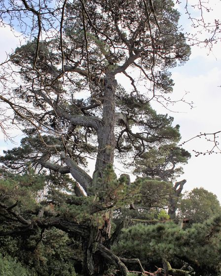 The large tree is still standing despite the storm. Picture: Sidmouth Arboretum