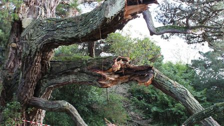 The snapped branch at Knowle. Picture: Sidmouth Arboretum