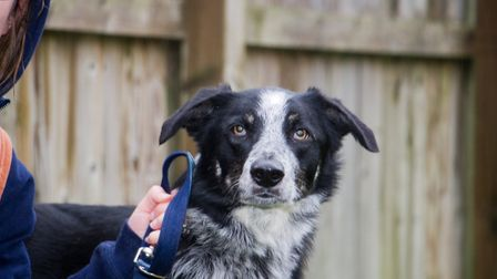 Benji the collie cross at ARC. Ref shs 49 18TI 6382. Picture: Terry Ife