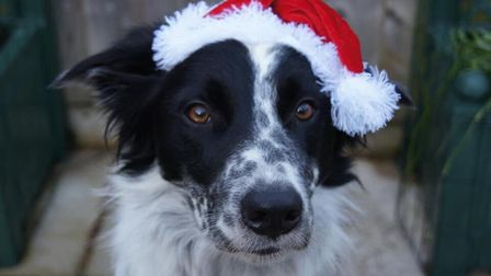 Seven year old border collie Smart donning his best Santa hat. Picture: Bill Wrench
