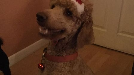 Poodle Red is ready for Santa's visit. Picture: Kim Wright