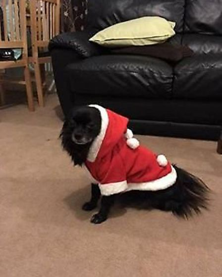 Hugo is ready for Christmas with his outfit. Picture: Pam Taylor