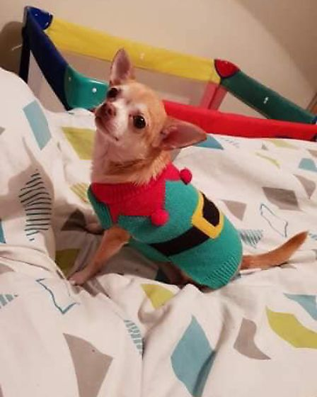 Chihuahua Hetty in a festive elf cotume. Picture: Hannah Wright
